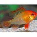 Papiliochromis ramirezi red-gold