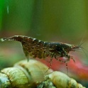 Neocaridina black star shrimp