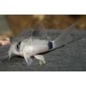Corydoras pand long fin