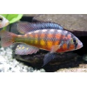 Haplochromis cribensis