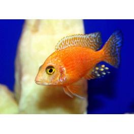 Aulonocara sp. red