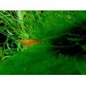 Krevetė Orange
