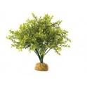 boksvudo krūmas Dekoratyvinis augalas.