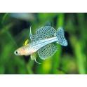 Pseudomugil gertrudae - mėlynakė Vaivorykštė