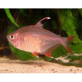hyphessobrycon ornatus