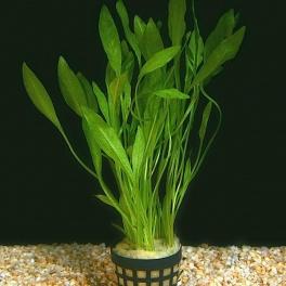 Helanthium bolivianum