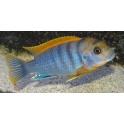 Labidochromis sp. Hongi Red Top