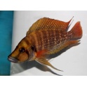 Lamprologus compressiceps tanzania red fin