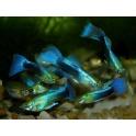 Gupija vyr. metallic blue neon