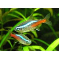 Characidinės žuvys