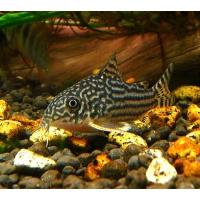 Dugninės žuvys