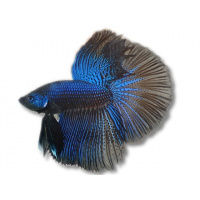 Labirintinės žuvys
