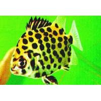 Akvariuminės žuvytės